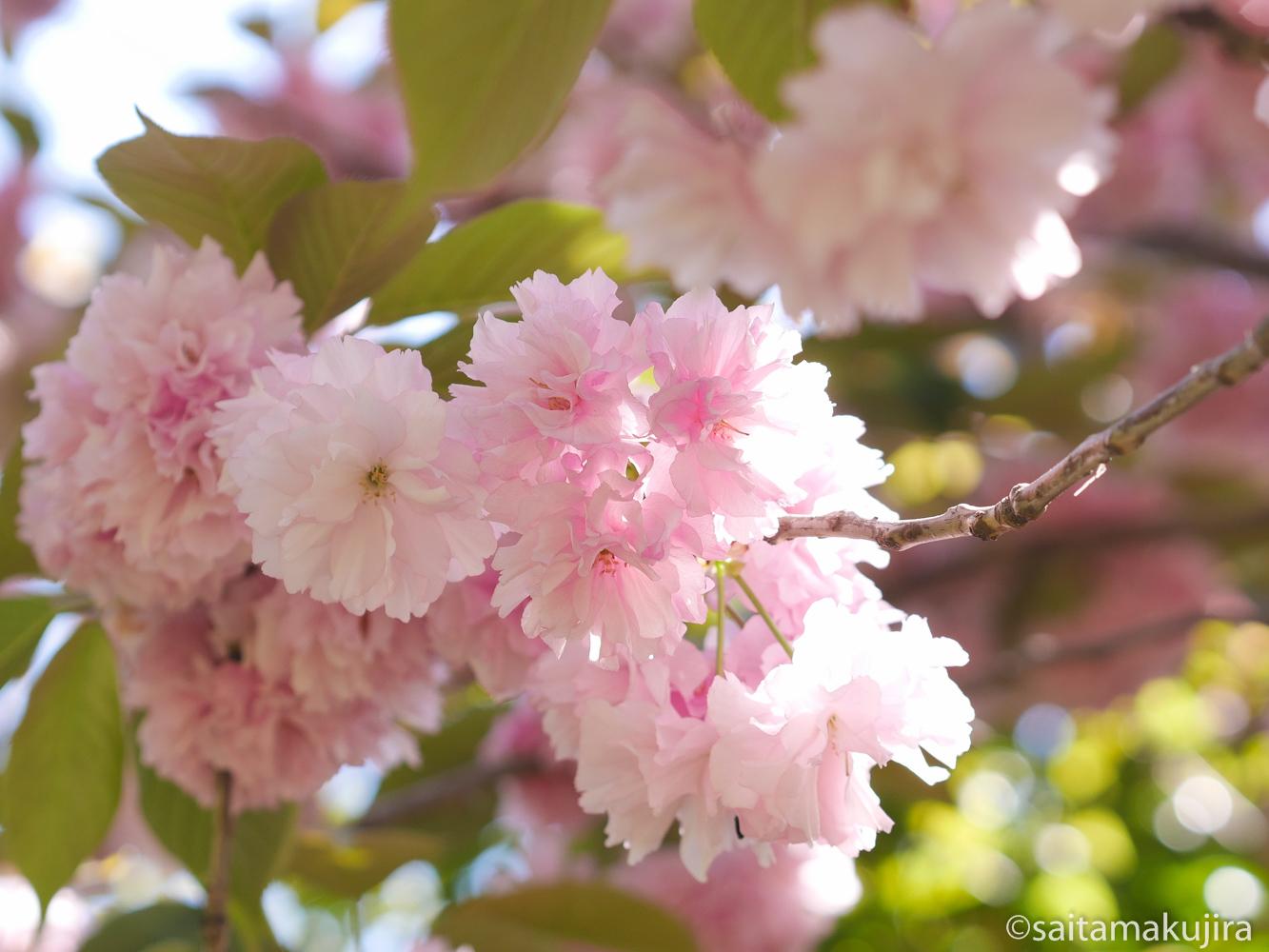 2015年4月23日 サトザクラ x マクロコンバーター_f0108797_13483410.jpg