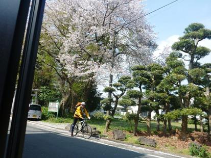 桜と菜の花_e0077899_8382513.jpg