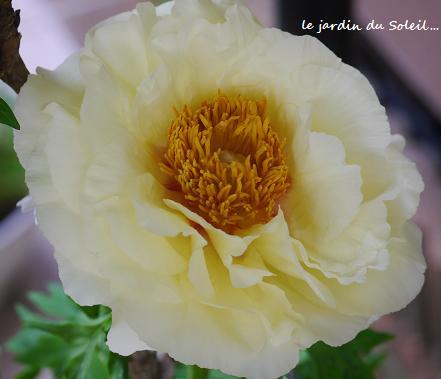 ふんわりと、百花の王が花開く・・・♪_c0098807_21534063.jpg