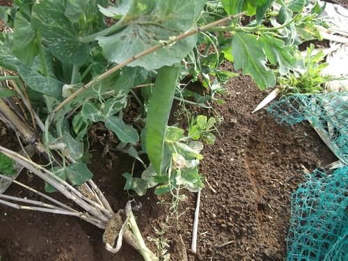 エンドウは収穫....ソラマメは太陽に向かって!_b0137932_17442612.jpg
