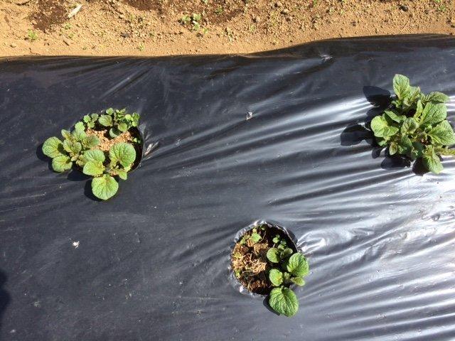 3月28日に植えつけた インカの目覚め 4日前より発芽し始めました _c0222448_12214037.jpg