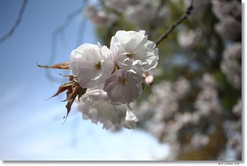桜_c0054876_18224762.jpg
