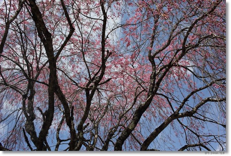桜_c0054876_18231585.jpg