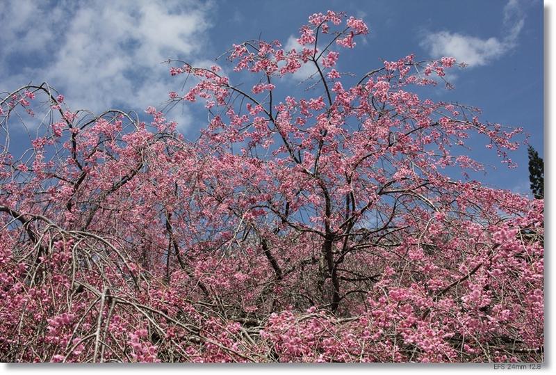 桜_c0054876_18233946.jpg
