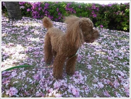 今日は公園でお散歩、八重桜の花びらの絨毯、きれいだったね~_b0175688_21454846.jpg