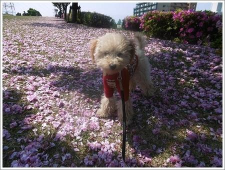 今日は公園でお散歩、八重桜の花びらの絨毯、きれいだったね~_b0175688_21455116.jpg