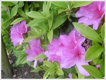 今日は公園でお散歩、八重桜の花びらの絨毯、きれいだったね~_b0175688_21472732.jpg