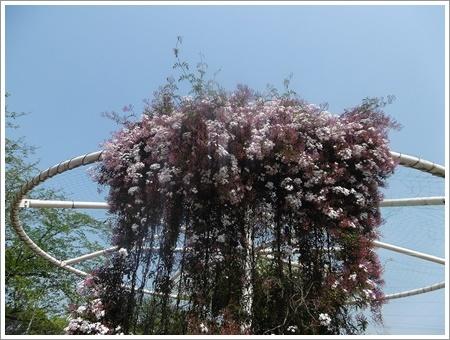 今日は公園でお散歩、八重桜の花びらの絨毯、きれいだったね~_b0175688_21504425.jpg