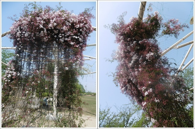 今日は公園でお散歩、八重桜の花びらの絨毯、きれいだったね~_b0175688_21504761.jpg