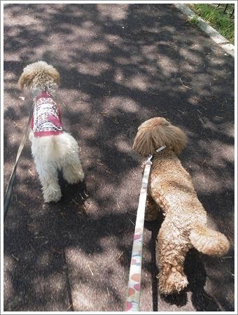 今日は公園でお散歩、八重桜の花びらの絨毯、きれいだったね~_b0175688_21532624.jpg