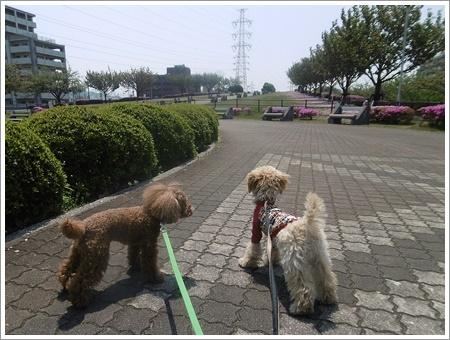 今日は公園でお散歩、八重桜の花びらの絨毯、きれいだったね~_b0175688_21533644.jpg