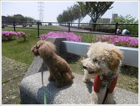 今日は公園でお散歩、八重桜の花びらの絨毯、きれいだったね~_b0175688_21534757.jpg