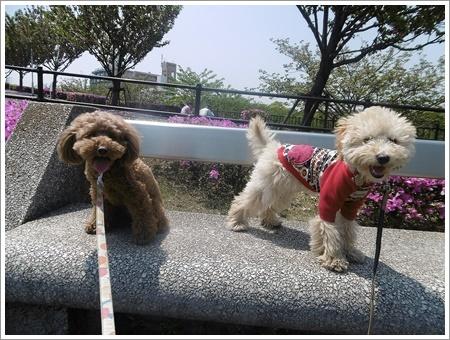 今日は公園でお散歩、八重桜の花びらの絨毯、きれいだったね~_b0175688_21535140.jpg