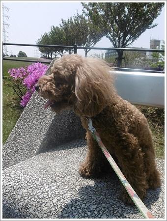 今日は公園でお散歩、八重桜の花びらの絨毯、きれいだったね~_b0175688_21535536.jpg
