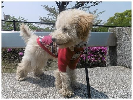 今日は公園でお散歩、八重桜の花びらの絨毯、きれいだったね~_b0175688_21535829.jpg