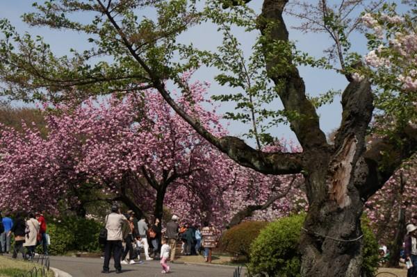 桜の連携プレー_f0055131_9443429.jpg
