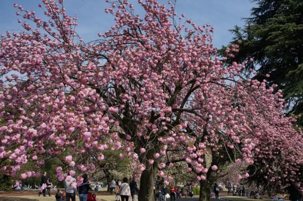 桜の連携プレー_f0055131_9444172.jpg
