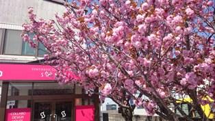 会社の桜が満開です。_e0180332_13524530.jpg