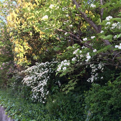 ハナミズキ…のきれいな季節になりました!!_d0082356_11294108.jpg
