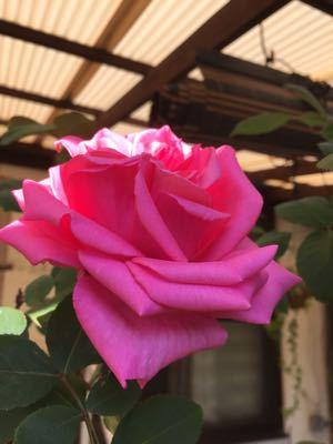 薔薇のアーチは⁉︎_e0086864_231391.jpg