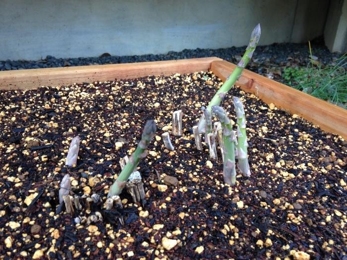 今年も菜園作っています♪_b0167282_22574705.jpg