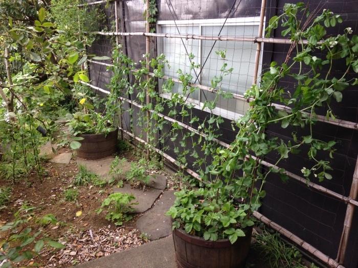 今年も菜園作っています♪_b0167282_23030553.jpg