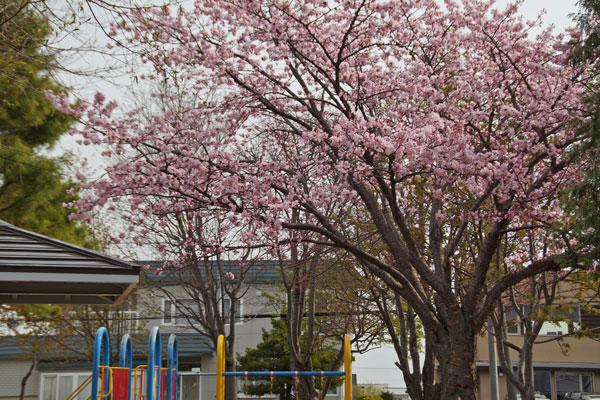 桜_d0162994_9283453.jpg