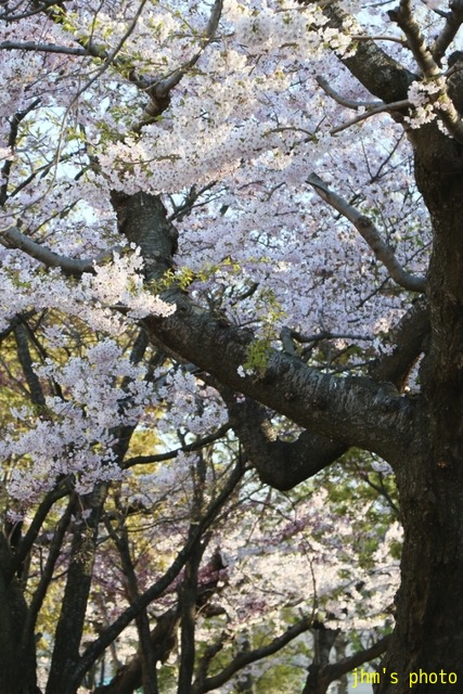 亀田川沿いの桜模様_a0158797_20561636.jpg