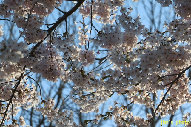 亀田川沿いの桜模様_a0158797_21123470.jpg