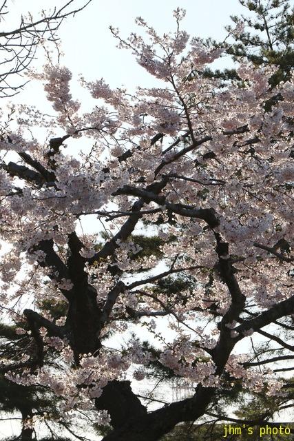 亀田川沿いの桜模様_a0158797_21353.jpg