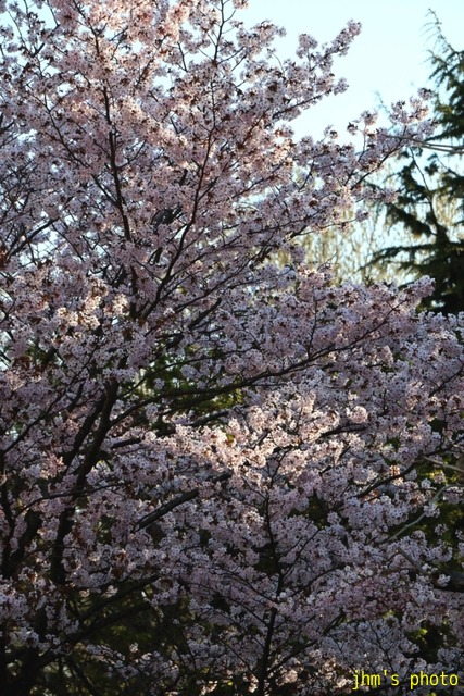 亀田川沿いの桜模様_a0158797_2182322.jpg