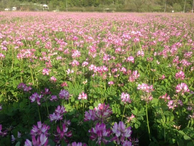 ♪この野原いっぱい咲く花を みんなあなたにあげる♪…れんげ畑(私のものでもなかった)_e0246120_21584143.jpg