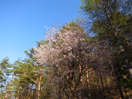 有芸にも山桜前線、到来しました。_b0206037_09565962.jpg