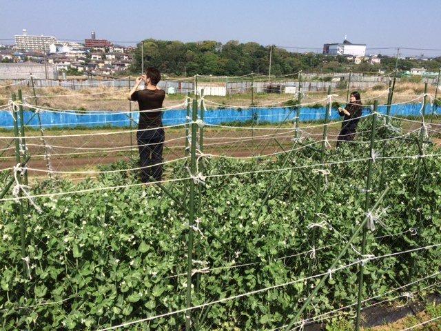 今朝は 蚕豆の畝周りの防鳥ネットに屋根を付ける作業です_c0222448_14514536.jpg