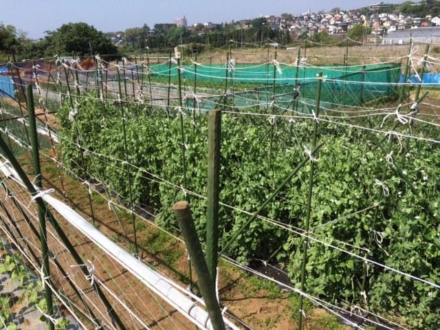 今朝は 蚕豆の畝周りの防鳥ネットに屋根を付ける作業です_c0222448_14520446.jpg