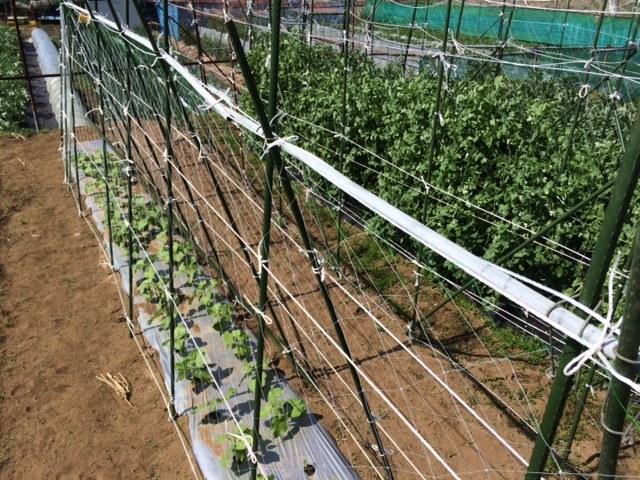今朝は 蚕豆の畝周りの防鳥ネットに屋根を付ける作業です_c0222448_14522356.jpg