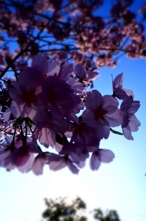 さくら。サクラ。桜。_e0254750_17532955.jpg