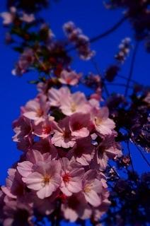 さくら。サクラ。桜。_e0254750_17534296.jpg