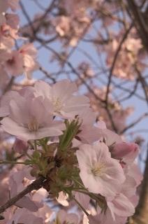 さくら。サクラ。桜。_e0254750_17535129.jpg