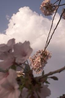 さくら。サクラ。桜。_e0254750_17540242.jpg