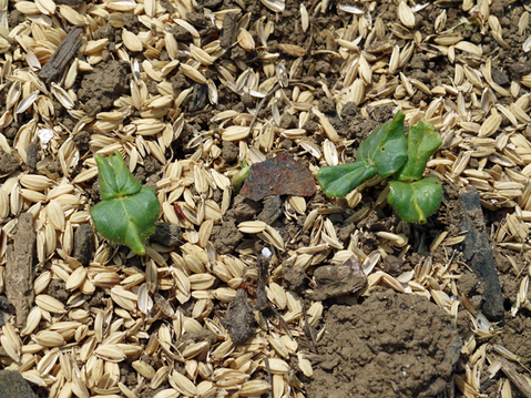 オクラ発芽、トウモロコシ2陣の種まき完了(4・25)_c0014967_20551342.jpg