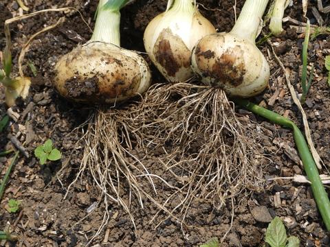 オクラ発芽、トウモロコシ2陣の種まき完了(4・25)_c0014967_20573011.jpg