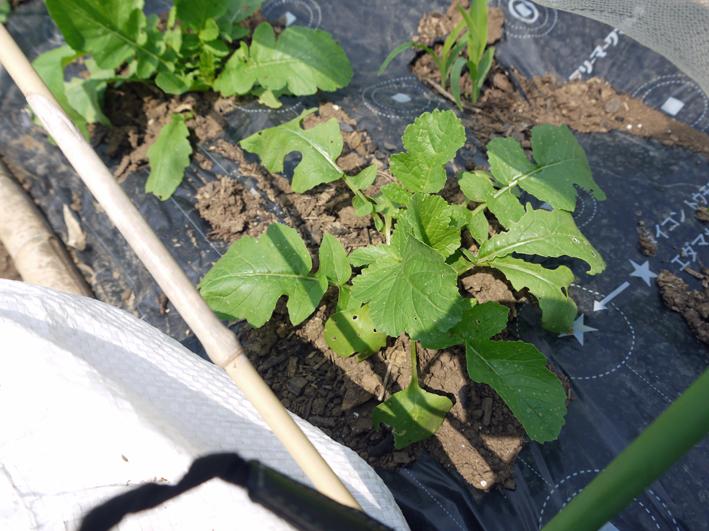 オクラ発芽、トウモロコシ2陣の種まき完了(4・25)_c0014967_20584321.jpg