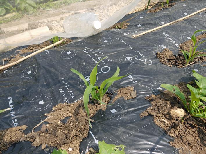 オクラ発芽、トウモロコシ2陣の種まき完了(4・25)_c0014967_20593665.jpg