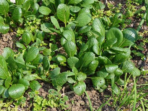 オクラ発芽、トウモロコシ2陣の種まき完了(4・25)_c0014967_2101743.jpg