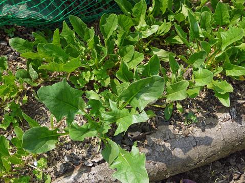 オクラ発芽、トウモロコシ2陣の種まき完了(4・25)_c0014967_211299.jpg
