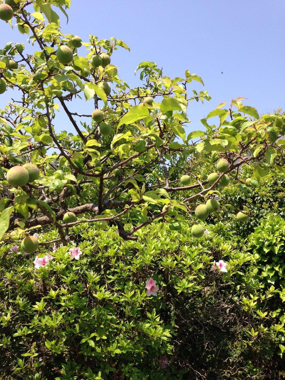 藤の花とうめ_c0234975_1184546.jpg