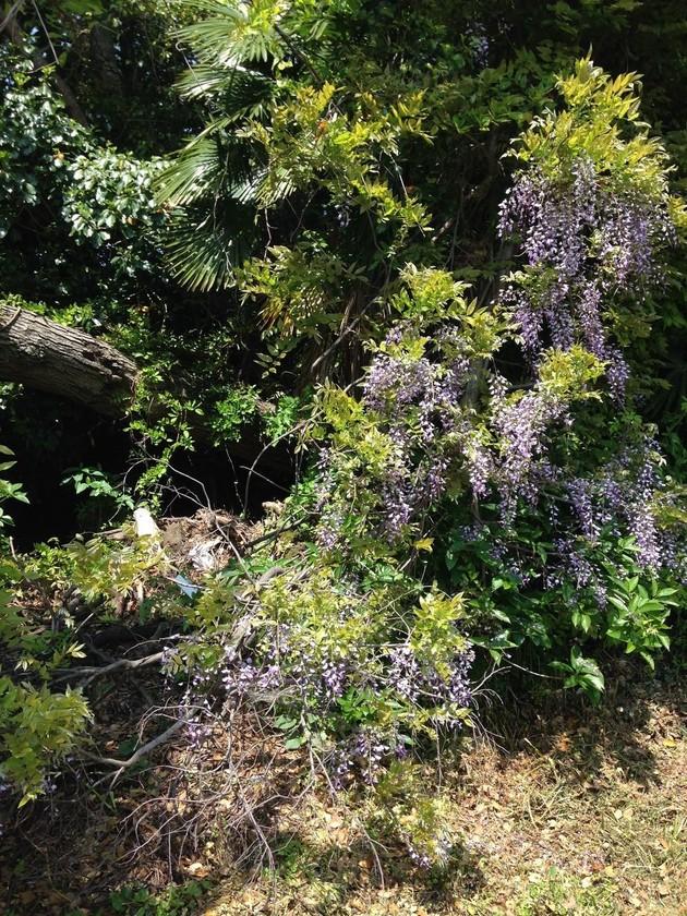 藤の花とうめ_c0234975_8301035.jpg