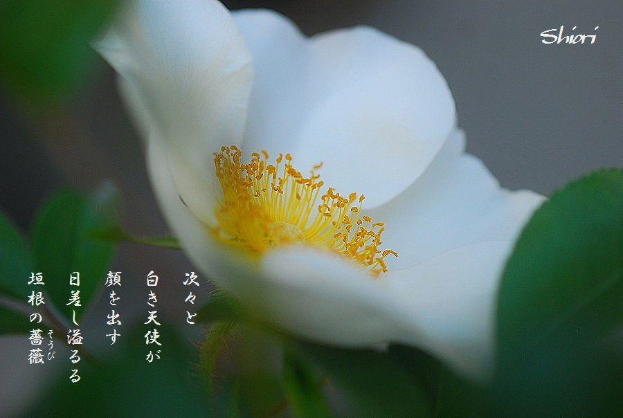 挿し木の白バラ_c0187781_10521357.jpg