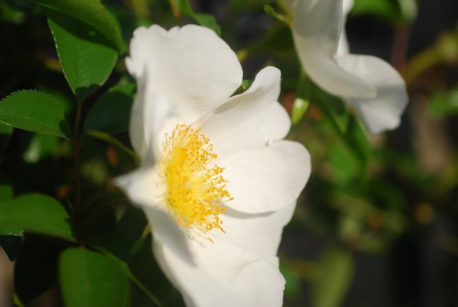 挿し木の白バラ_c0187781_10532190.jpg